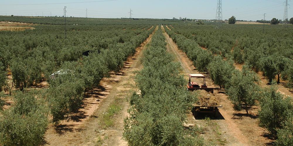 olivos hacienda sevilla