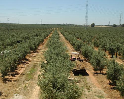visita olivos hacienda sevilla